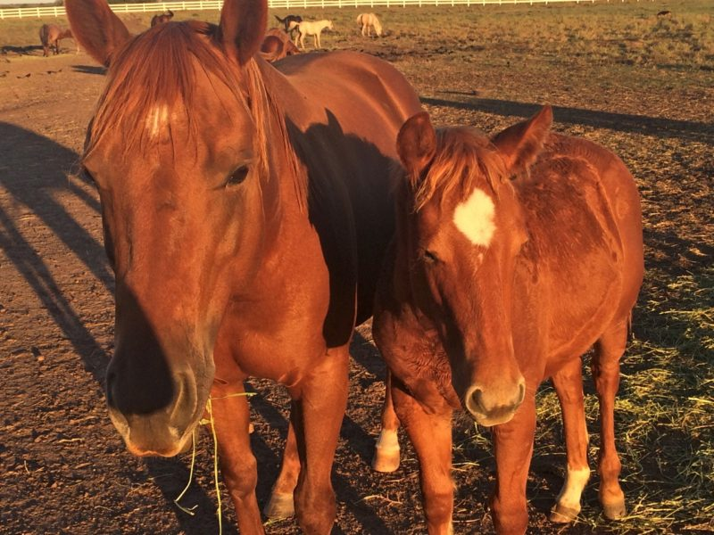 Philip's old mare Callie with the first foal she's carried: a filly by Bailey