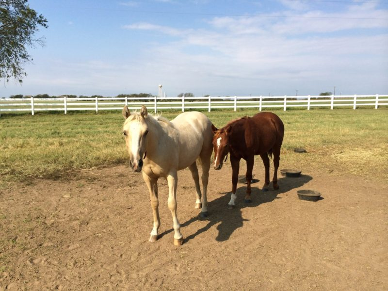 Two of the yearling colts we didn't sell, sons of Chexy and Callie