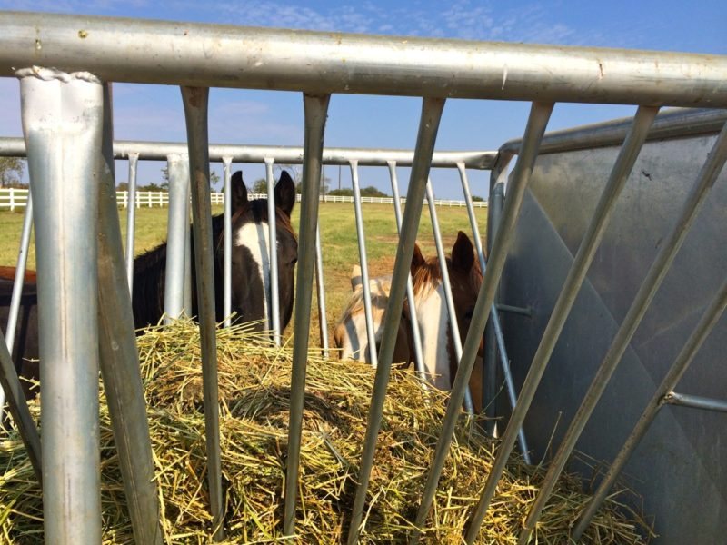 Yearling colts at the feeder