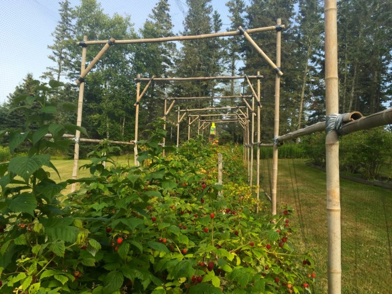 Raspberry bushes under netting