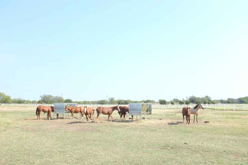 Yearlings at the ranch: the dream begins again.
